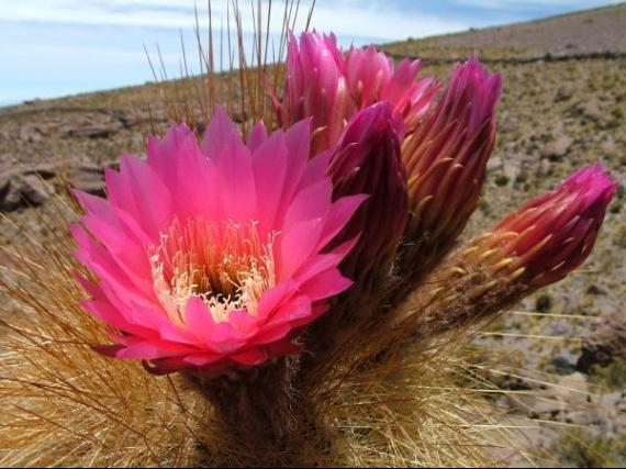 fleur_cactus
