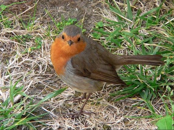 galerie-membre,oiseau-rouge-gorge,oiseau01