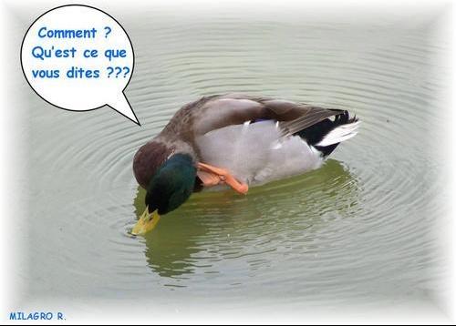 rm-pb-canard-colvert-se-gratte-le-tete
