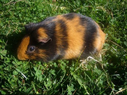 Le cochon d 39 inde le plus mignon concours inscription ici hamsters cochons d 39 inde lapins - Image de cochon mignon ...