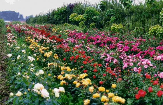 Миниатюрные розы плетистые 2