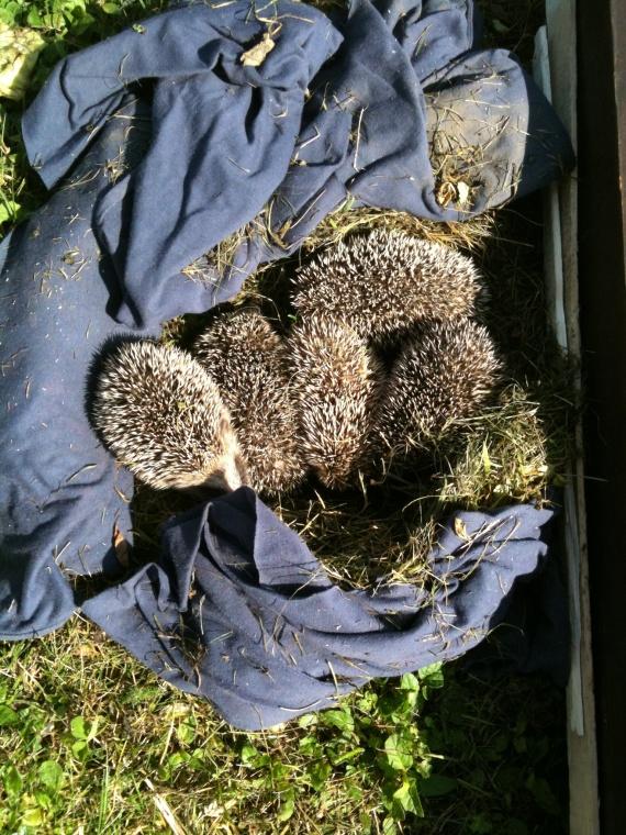 H risson dans mon jardin forum libre animaux forum animaux for Herisson dans mon jardin