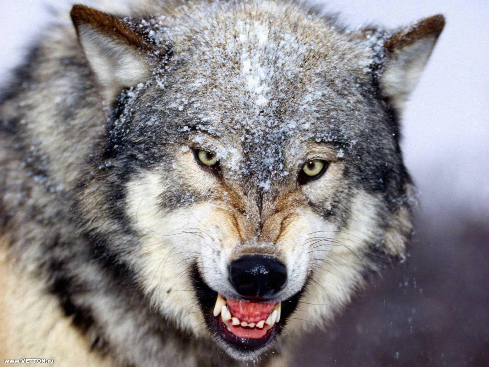 Le jeu du Pendu - Page 2 Loups-loup-8-big