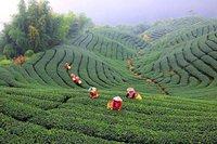 Culture du Thé à Taiwan