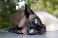 siamese-cat-anteprima-600x399-741896