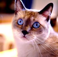 gatto-siamese-thai