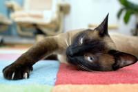 gatto-siamese (2)
