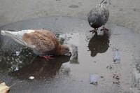 pigeons parisiens