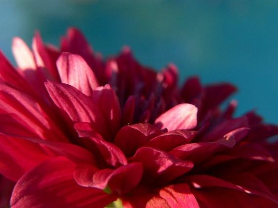 http://a.imdoc.fr/1/maison-jardin/chrysanthemes/photo/4424027442/779096589d/chrysanthemes-chrysantheme-8-img.jpg