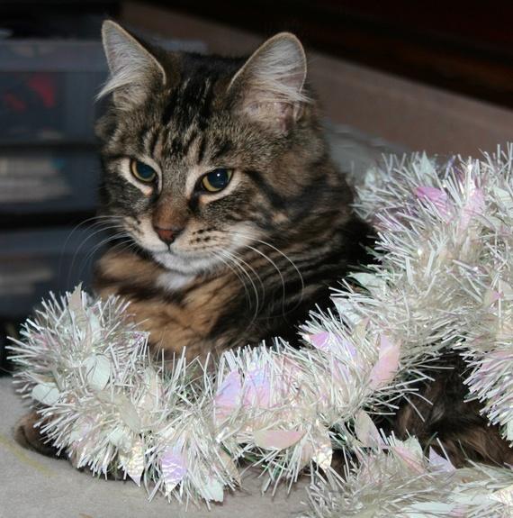 Sirius se prend pour un sapin de Noël