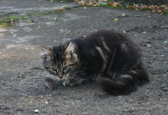 Sirius a attrapé une souris
