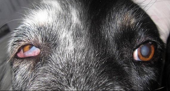 Mon chien a les yeux qui s 39 enroulent vers l 39 int rieur for Interieur yeux rouge