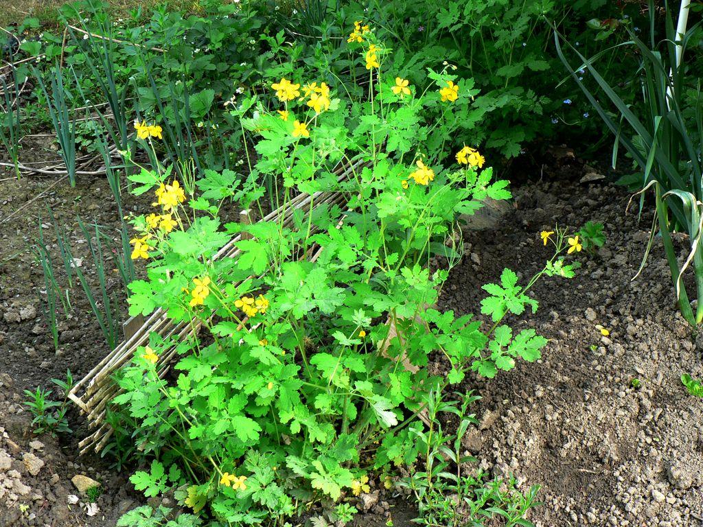 Les plantes exterieur veronique panachee pot 15cm les for Plante exterieur