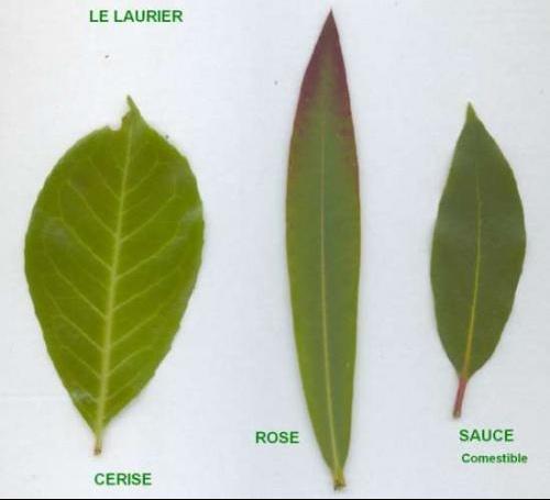 Laurier rose en hiver jardinage forum vie pratique - Maladie laurier rose feuilles seches ...