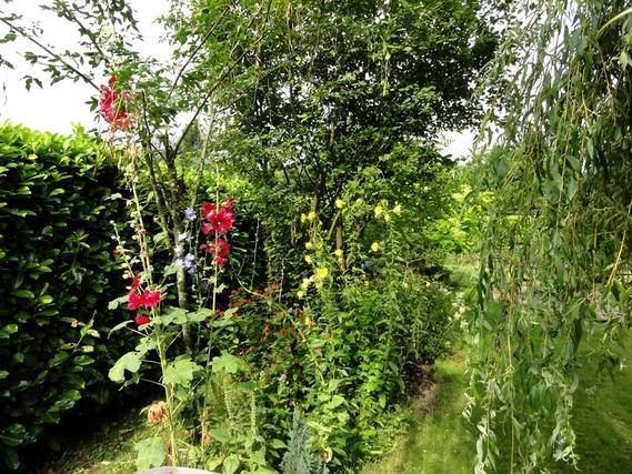 roses trémières, chicorée, millepertuis, onagre