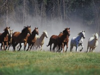 horses-running-wallpapers_12569_1600x1200