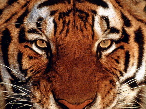 tiger-portrait-wallpapers_12570_1600x1200
