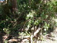 TAS de branches du VIBURNUM  ... avec  des  champignons,