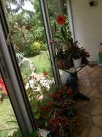Véranda avec les  fleurs kALANCHOE   AMARILLYS (fin) et zygocactus