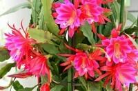 epiphyllum-gerbeaud