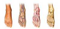 pieds-anatomie-1160x573