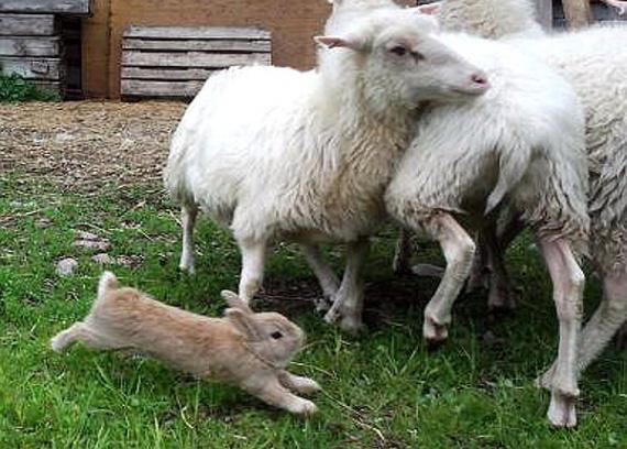Sheep herding bunny !
