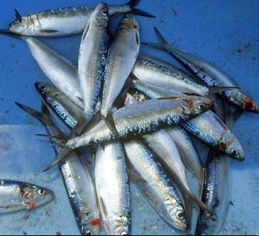 sardines.