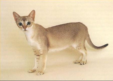 singapura-cat-facts