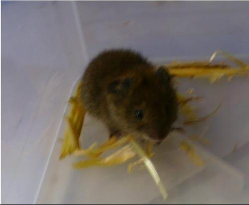 petite souris sauvage que faire nouveaux animaux de compagnie rats reptiles furets. Black Bedroom Furniture Sets. Home Design Ideas