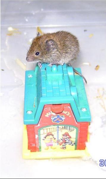 petite souris sauvage que faire hamsters cochons d 39 inde lapins forum animaux. Black Bedroom Furniture Sets. Home Design Ideas