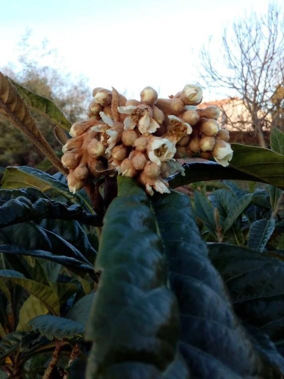 Fleur Néflier Manuela