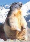marmotte