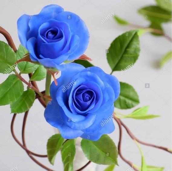 roses bleus