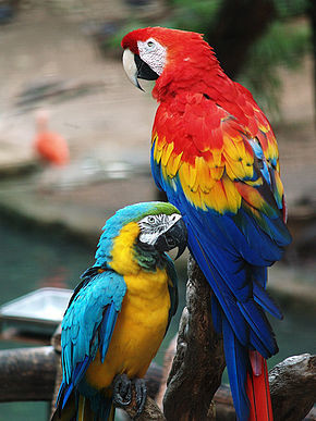 290px-Scarlet_Macaw_and_Blue-and-gold_Macaw