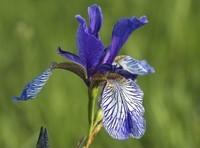 9944-bleu-veine