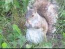 écureuil de central park