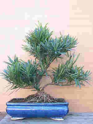 podocarpus.