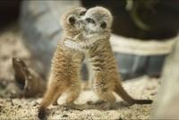 Tendre-calin-pour-les-petits-suricates