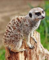 Meerkat_-_melbourne_zoo
