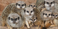 Meerkats-small-hero