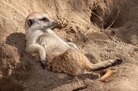 meerkat_lounging_0