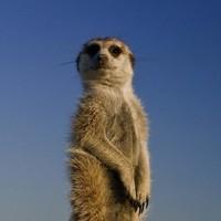 meerkat_thumb-ngsversion-1484886604355-adapt-1900-1
