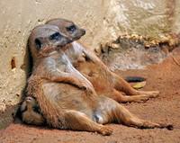 meerkats-sunbathin_1605765i
