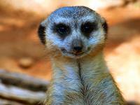 meerkat-solo