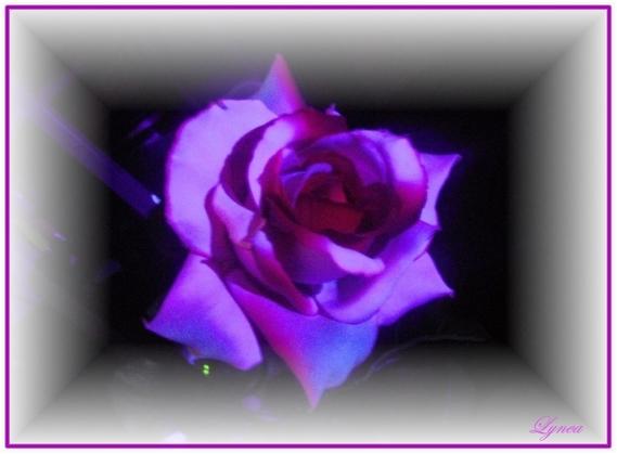 la rose de noel lynea