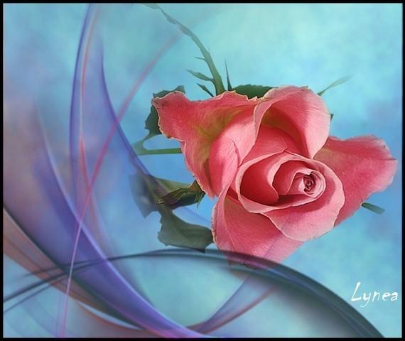 rose jolie de Lynea