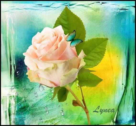 larmes de la rose Lynea