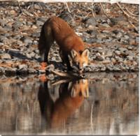 renard-coeur