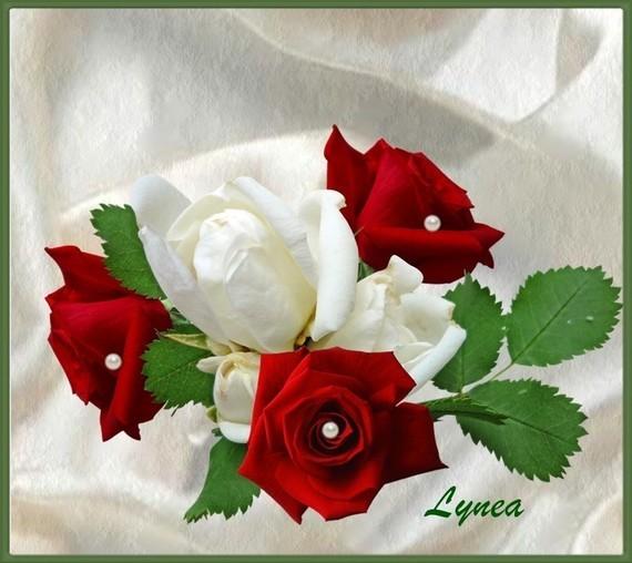 Roses rouges blanches de Lynea