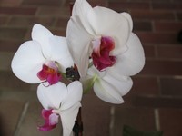 fleurs-orchidees